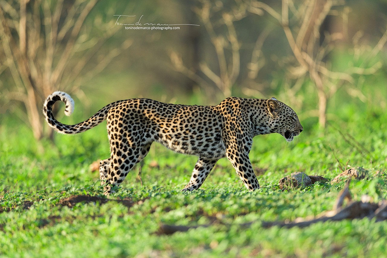 Leopard_Color_002