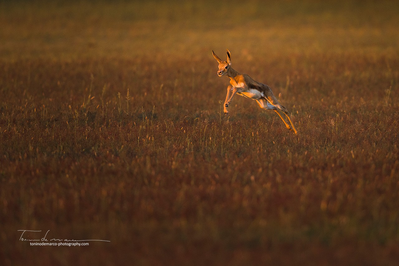 Springbok_Color_041