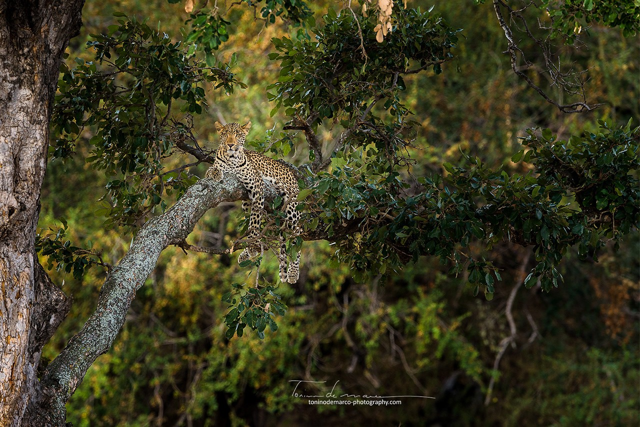Leopard_Color_043