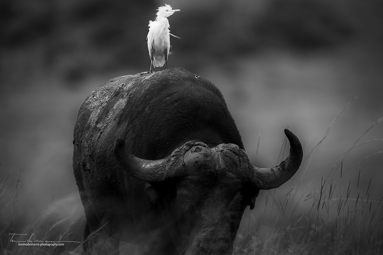 Cattle Egret_African Buffalo_WB_001