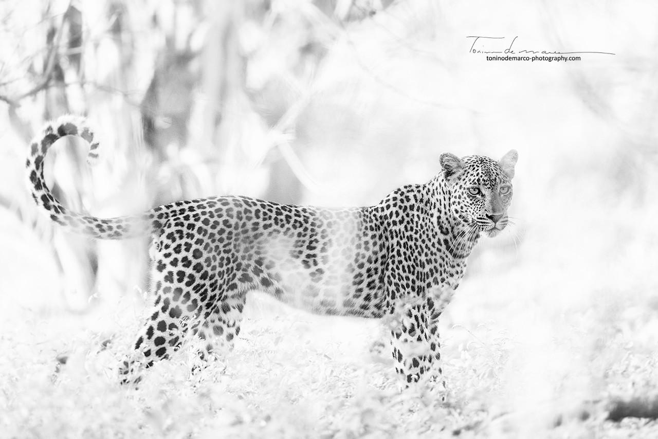 Leopard_BW_007