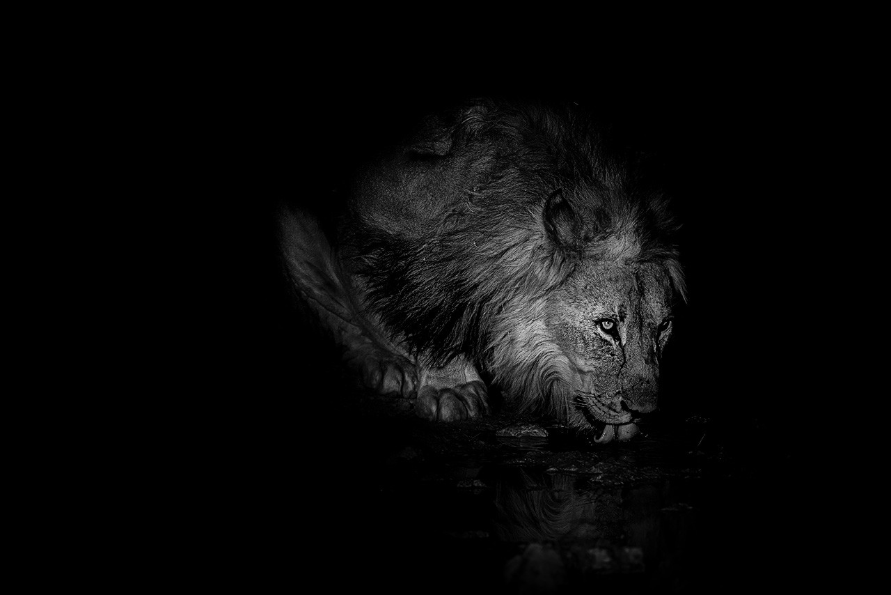Lion_BW_009