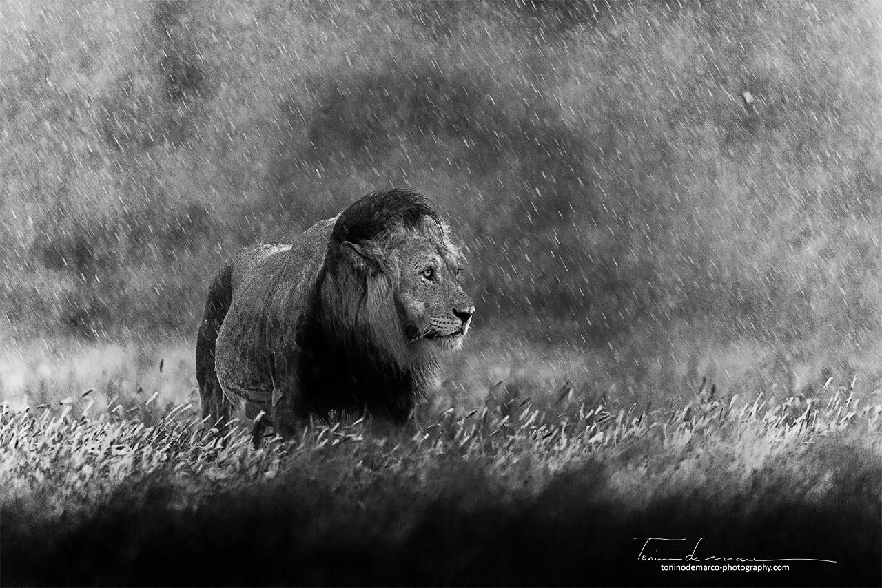 Lion_WB_020