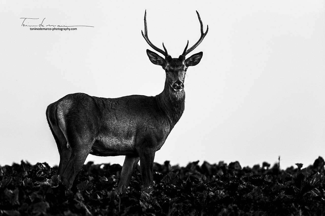 Deer_Cerf_France_025