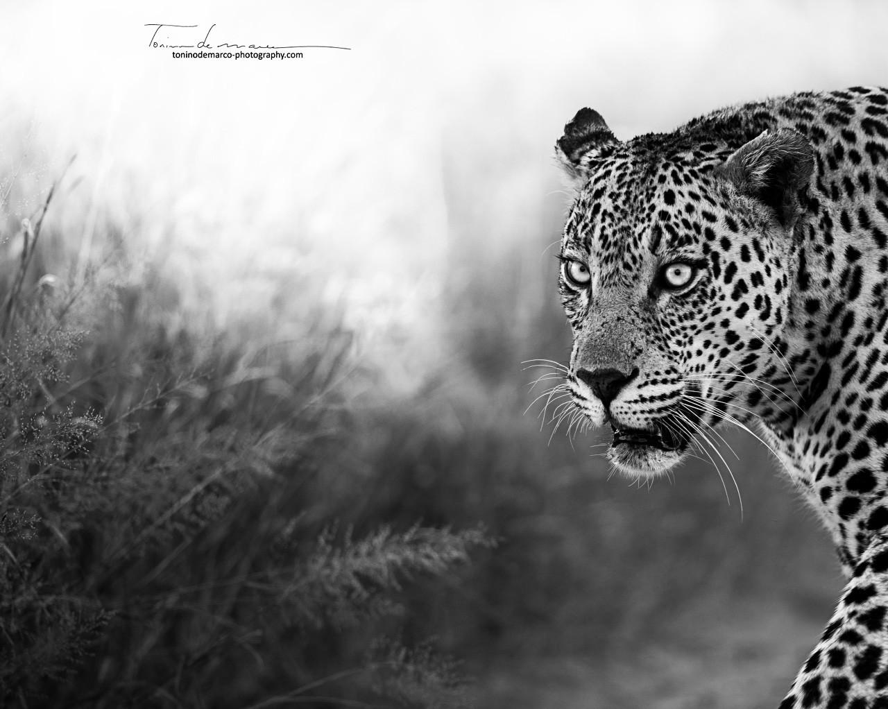 Leopard_BW_022