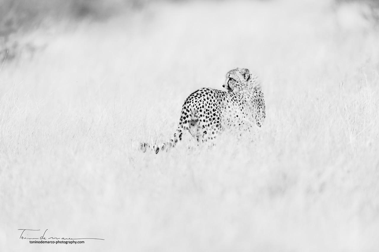 Cheetah_BW_023