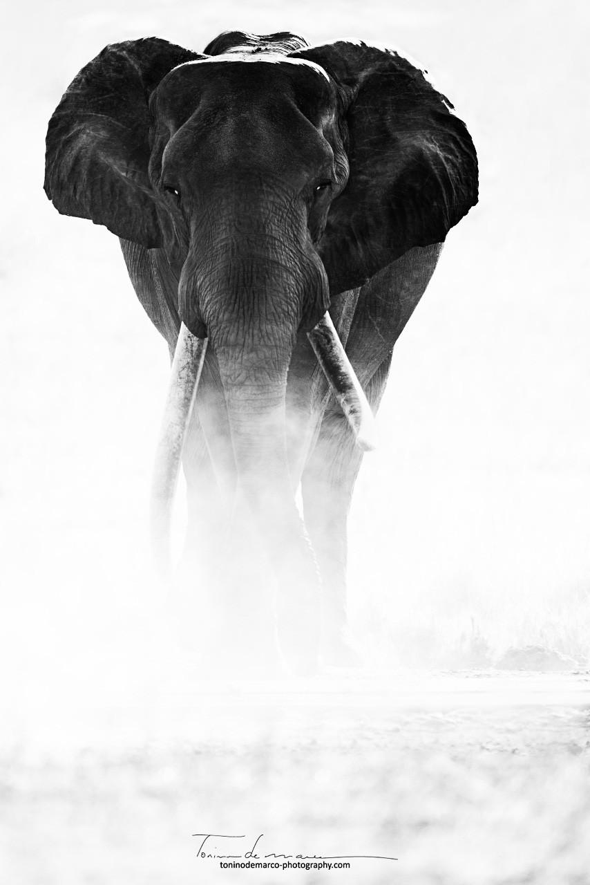 Elephant_BW_021