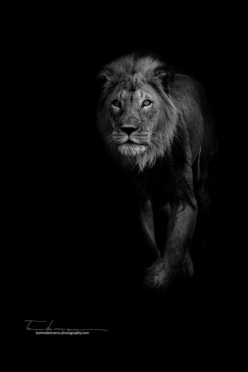Lion_BW_028