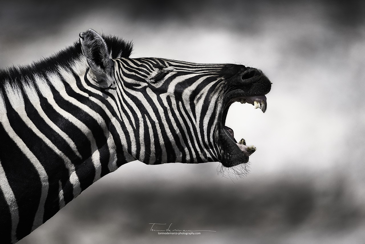Zebra_Color_062