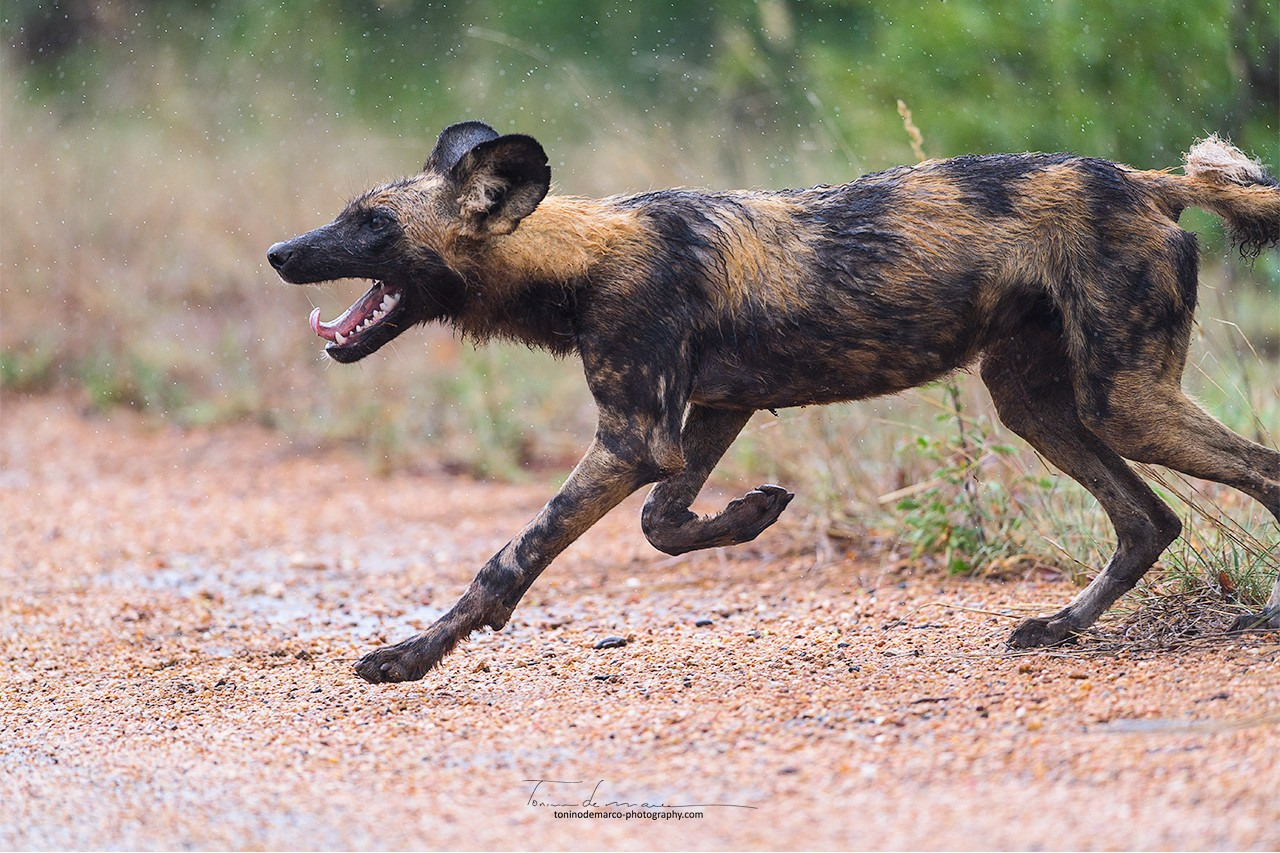 Wild Dog_Color_063