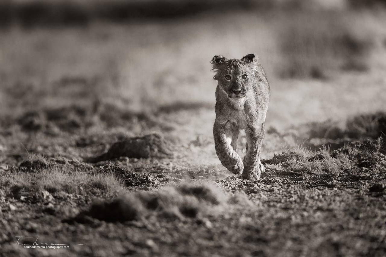 Lion_BW_032