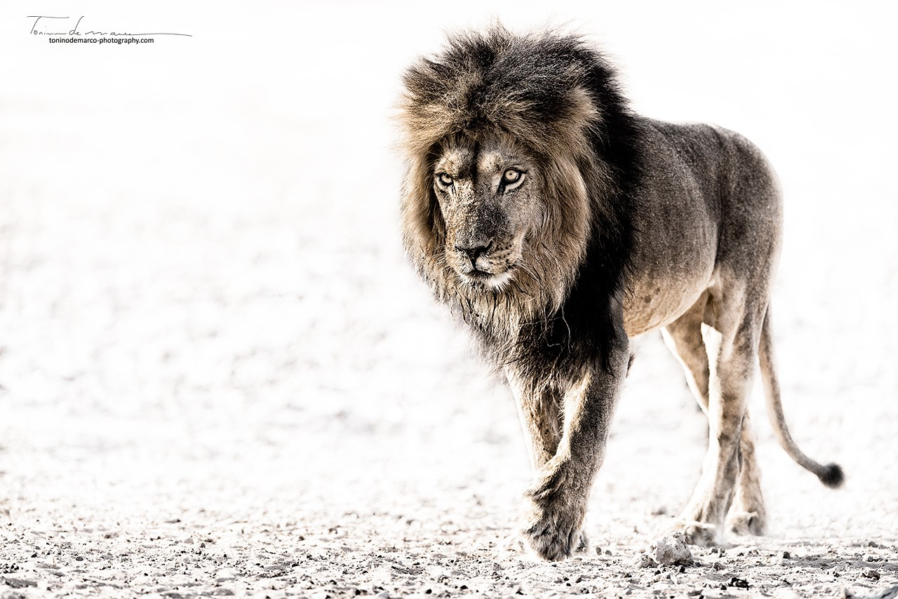 Lion_Color_064
