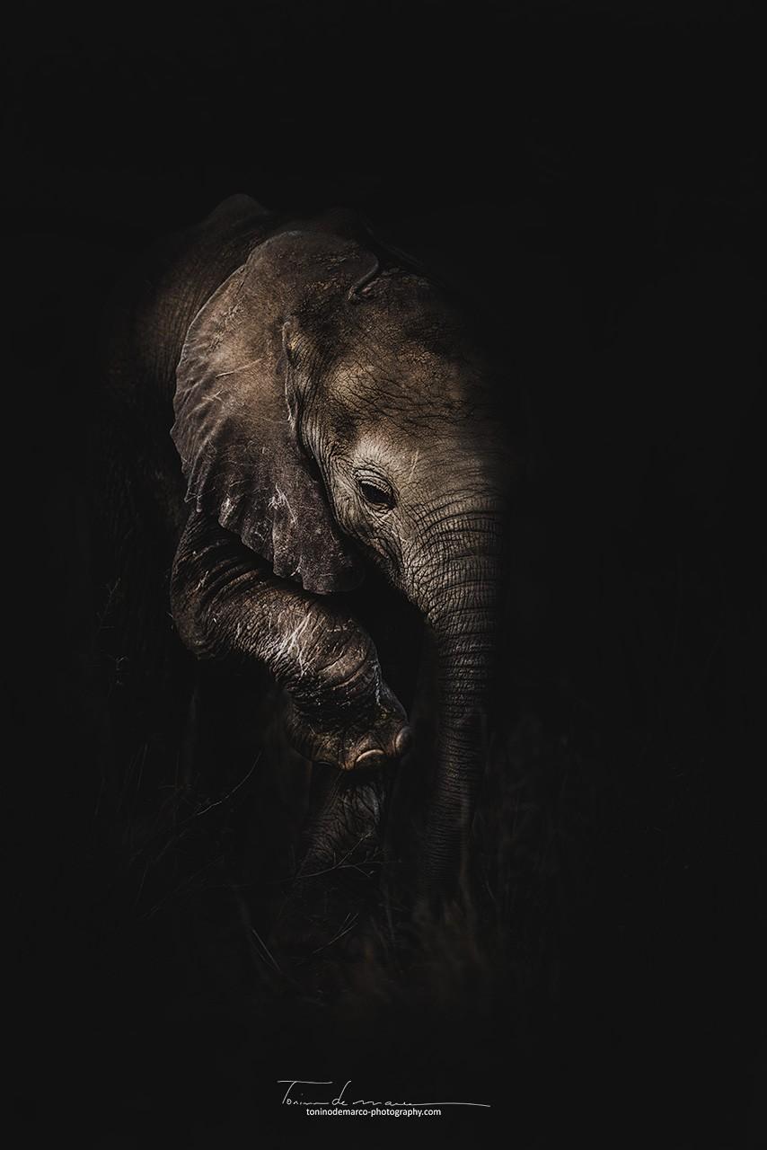 Elephant_BW_033