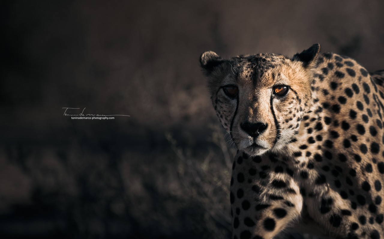 Cheetah_Color_066