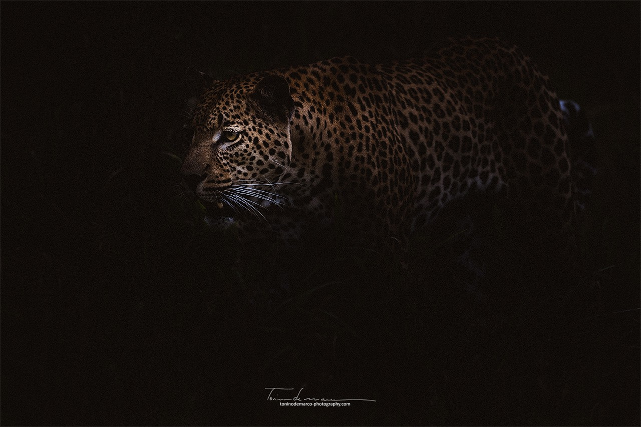 Leopard_Color_067