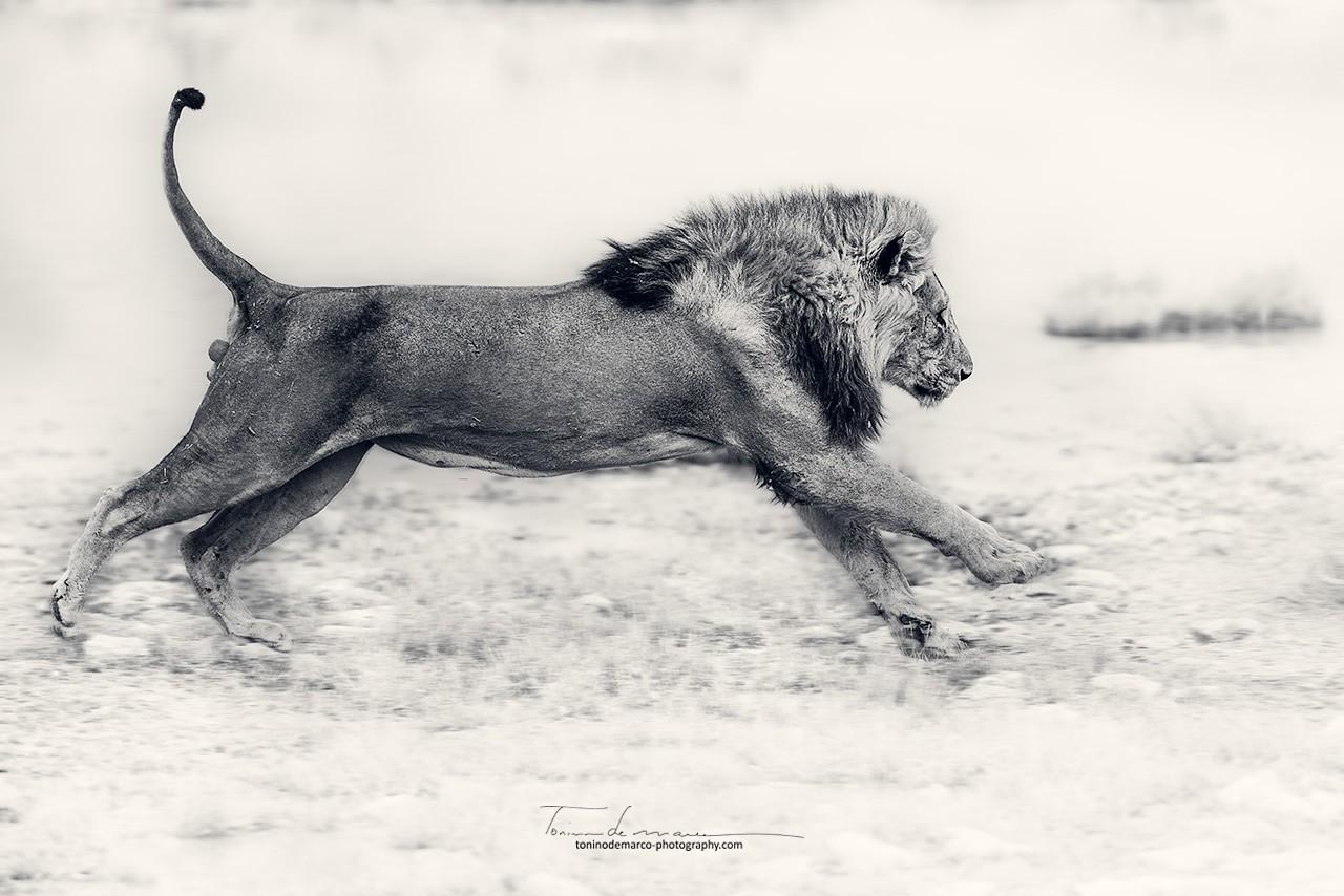 Lion_BW_037