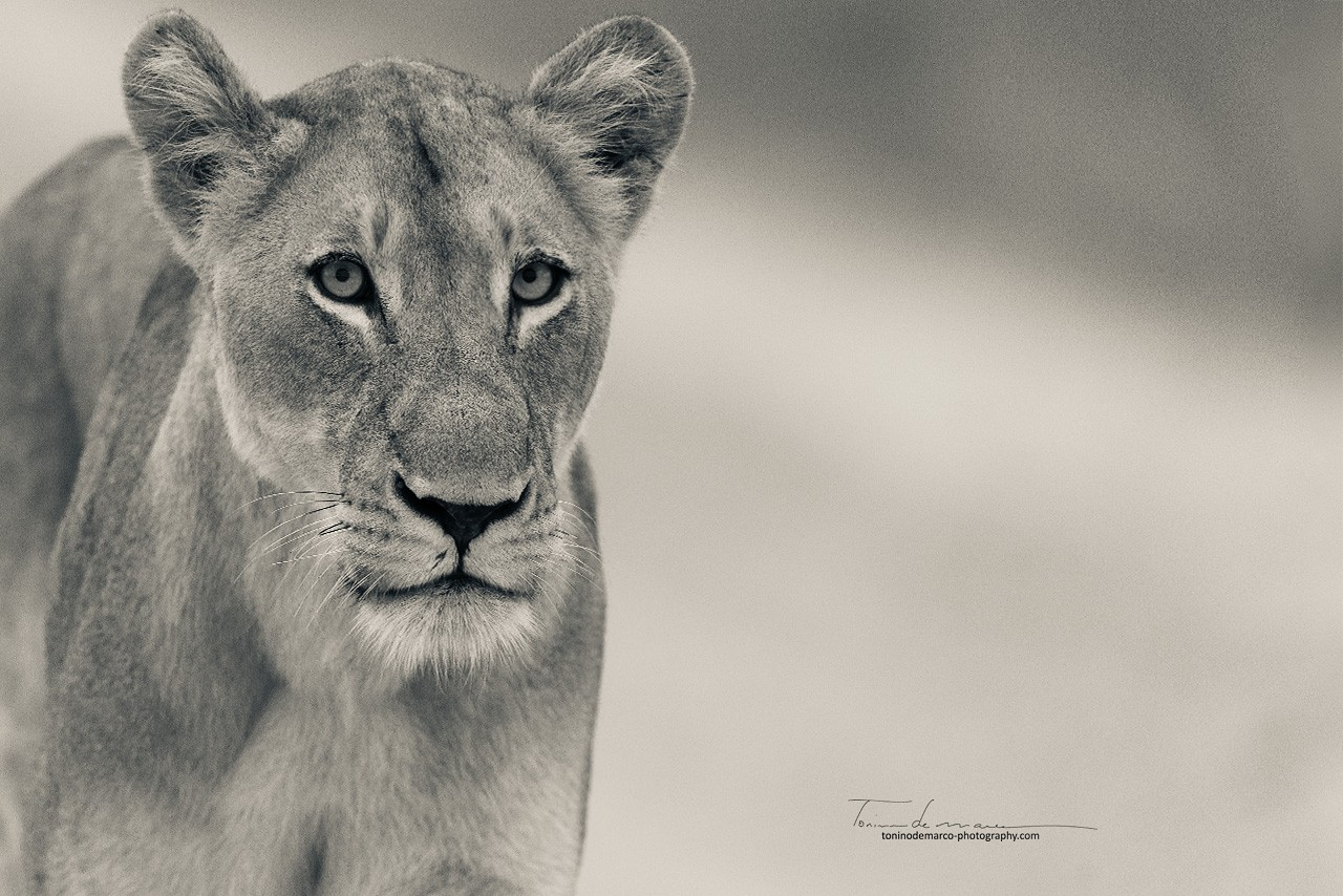 Lion_BW_038