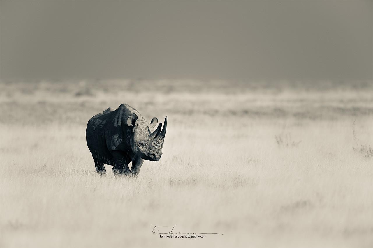 Rhinocéros_BW_039