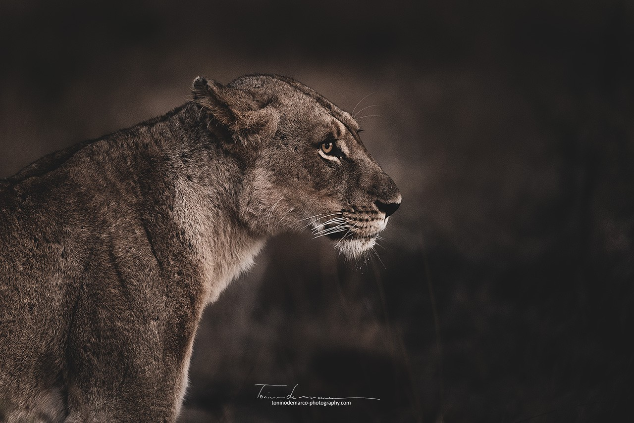 Lion_BW_040